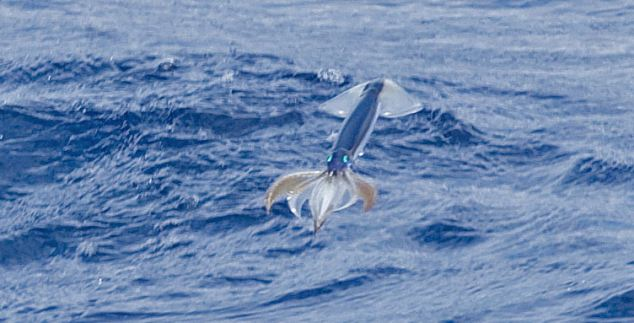 Flying Squid - Close Up 2