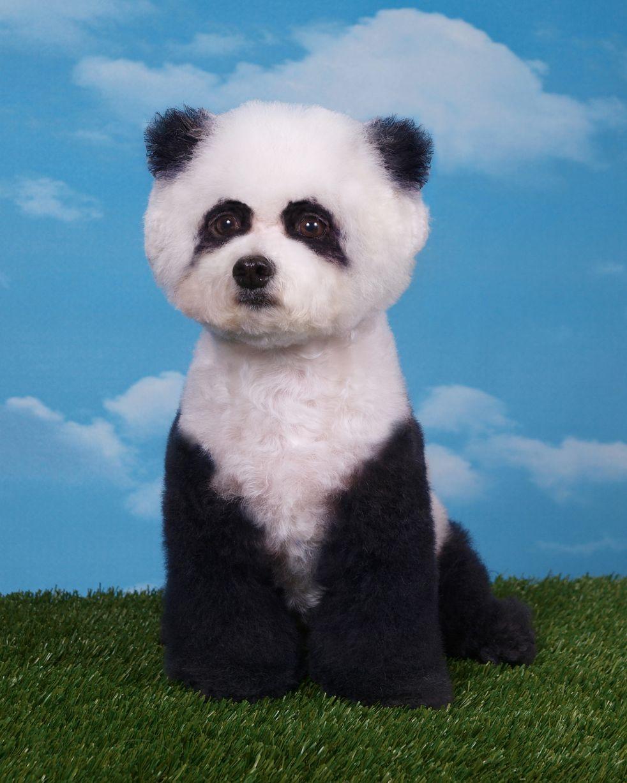Panda Puppy