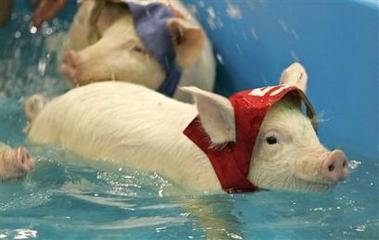 Pig Olympics - Swimming
