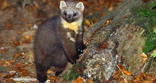 Pine Martin Football Attack - Switzerland - hero